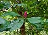 PA-TS-Magnolia acuminata 2020.9.15#0830.2. Cucumber-tree Magnolia. Bowman's Hill, Bucks County Pennsylvania.