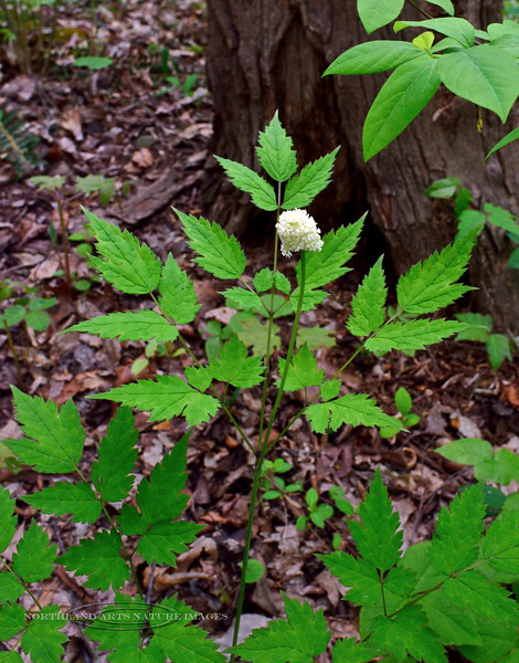 PA-F-Actaea rubra 2016.5.9#517.3. Red Baneberry. Bowman's Hill, Pennsylvania.