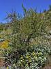 AZ-TS-Olneya testota 2020.3.20#5187.2. The Desert Ironwood Tree. Lake pleasant Arizona.