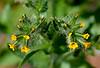 AZ-F-Amsinckia menziesii var.intermedia 2019.3.15#086. Common Fiddleneck. Picacho Peak Arizona.