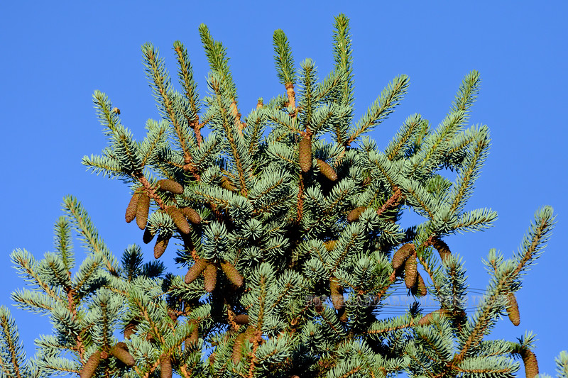 AZ-TS-Picea pungens 2017.6.14#187.3. A Blue Spruce with a pretty good crop of new cones. Prescott Valley Arizona.
