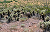 AZ-CTS-Ferocactus cylindraceus 2020.5.22#3102.1X. Compass Barrel cactus. Hills north of Aguila Arizona.