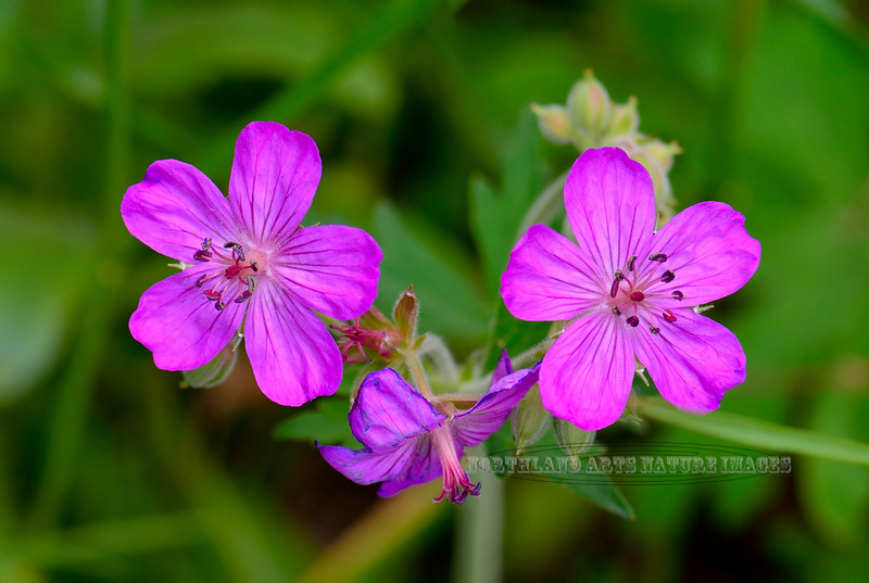 WY-F-Geranium viscosissimum 2018.7.4#4014, the Sticky Geranium. Yellostone NP Wyoming.
