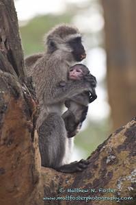 Vervet Monkey, Lake Nakuru, Kenya