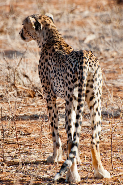 Cheetah, Samuru National Park, Kenya