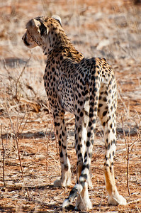 Cheetah, Samuru National Park, Kenya