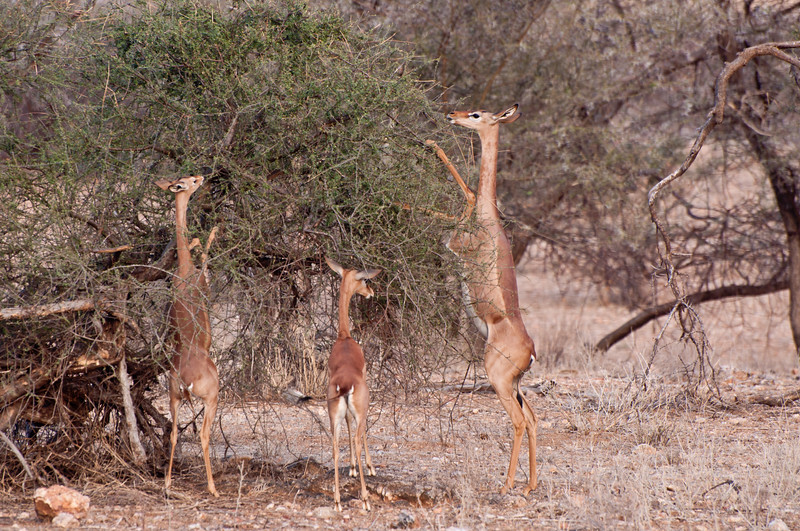 Gerenuk in Samburu National Park, Kenya