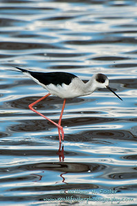 Immature Black-winged Stilt, Lake Nakuru, Kenya