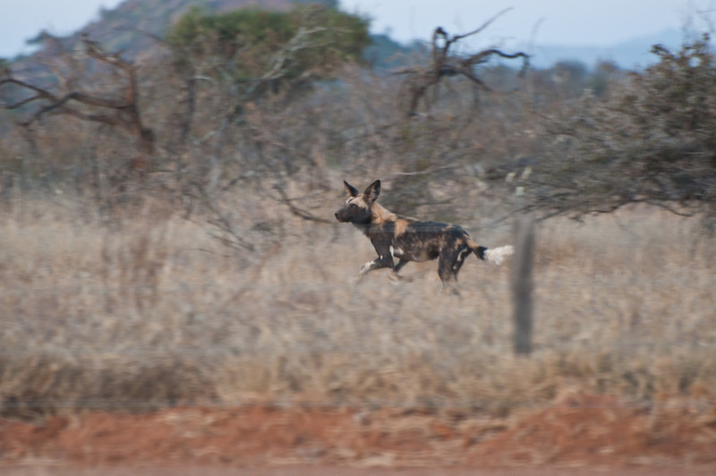 Wild dog just outside Mpala Research Station