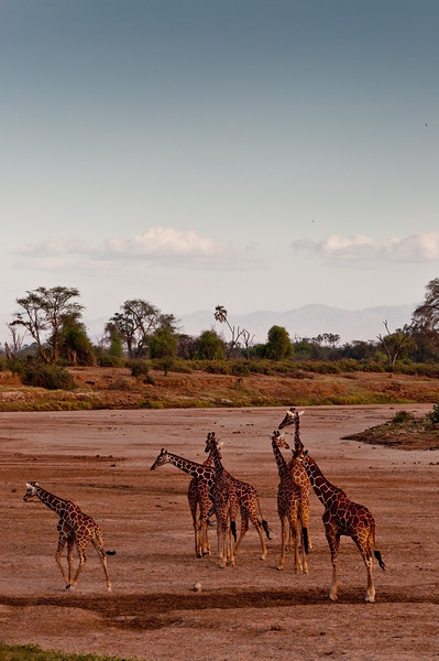 Reticulated giraffe in the dry Samburu river bed.