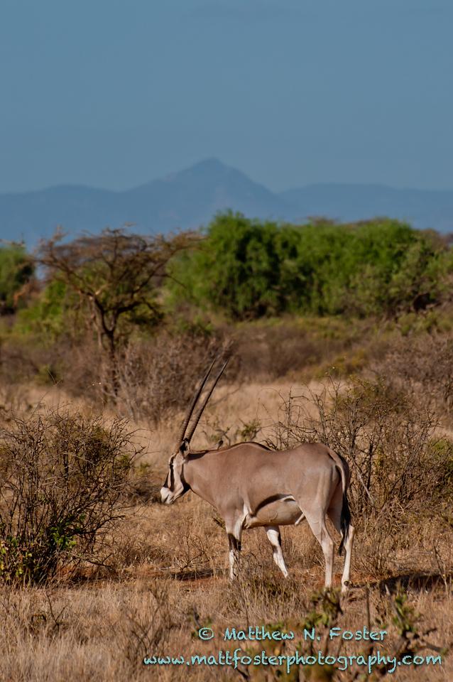 Beisa oryx, Samburu National Park, Kenya
