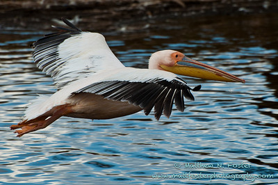 Great White Pelican, Lake Nakuru, Kenya