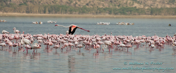 Greater and Lesser Flamingos, Lake Nakuru, Kenya