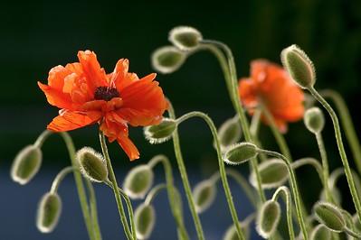Poppy with Flower Buds