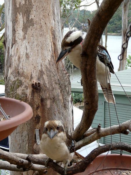 Kookaburras at feeding time - Bonnie & Keith's - November 2008.