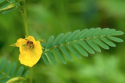 Partridge-pea (Chamaecrista fasciculata)