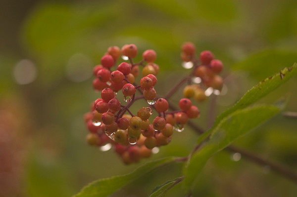 These berries were photographed in the early morning hours after a summer rain near McHugh Creek in the Chugach State Park south of Anchorage, Alaska.
