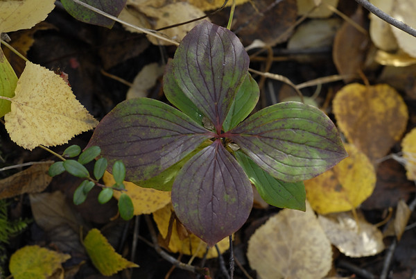 This small plant was nestled among fallen birch leaves along a hiking trail near Campbell Creek just outside Anchorage, Alaska in late September.