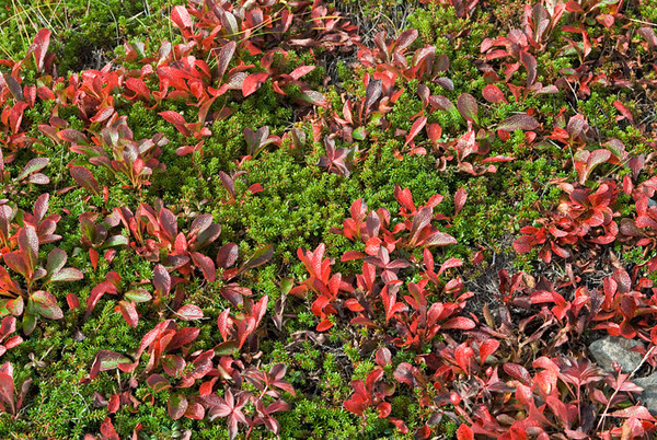 This low lying ground cover is a mix of changing colors and evergreen rendering a nice contrast. This photograph was taken about mid-September on Flattop in the Chugach State Park just outside Anchorage, Alaska.