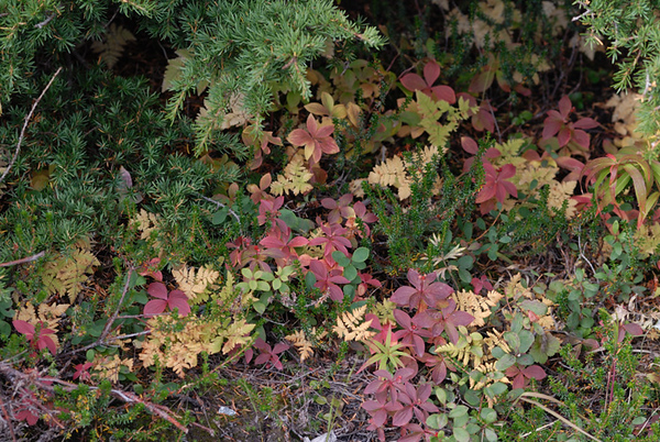 These brightly colored flora were nestled beneath a set of evergreen trees in the Chugach State Park just outside Anchorage, Alaska. This photograph was taken around mid-September.
