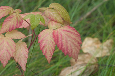 These turning leaves were photographed near Bird Creek along Turnagin Arm south of Anchorage, Alaska.