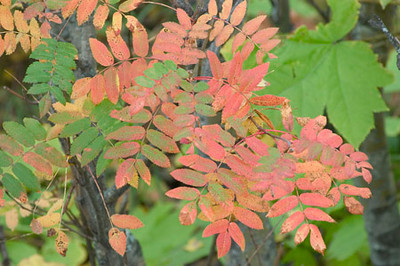 This Mountain Ash was just beginning to change colors for the Autumn. This photograph was taken near McHugh Creek along Turnagin Arm south of Anchorage, Alaska.