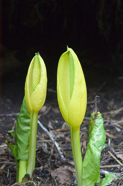 This Skunk Cabbage was just emerging in mid-May near Juneau, Alaska.