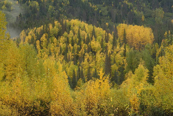 Autumn has arrived on the Kenai Peninsula in Southcentral Alaska. This hills are covered with mix of Spruce and Birch trees, which make for an impressive contrast of colors.