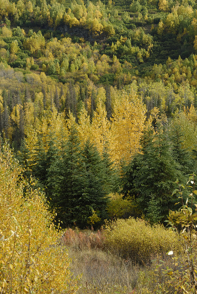 The Birch trees, at the height of their autumn color contrast with the rich green of the Spruce trees. This photo was taken along the Hope Road on the Kenai Peninsula south of Anchorage, Alaska.