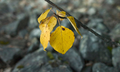 This solitary group of leaves was a last holdout against the Alaskan winter. It was photographed in late autumn along the Knik River northeast of Anchorage.