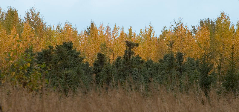 The Green Spruce trees contrast with the golden Birch trees. This was taken during late Autumn in Baxter Bog Pond Park near Anchorage, Alaska.