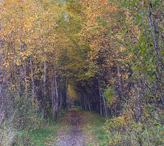 This trail circumnavigates Baxter Bog Pond on the east side of Anchorage. The photograph was taken in the early autumn and the Birch trees were beginning to turn and shed their leaves.