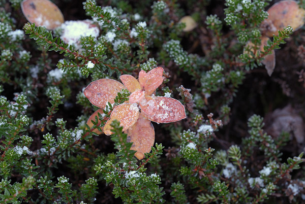 An early snow is just about to melt off on these turning leaves along a hiking trail in the Chugach State Park outside Anchorage, Alaska. This photo was taken at the end of September.