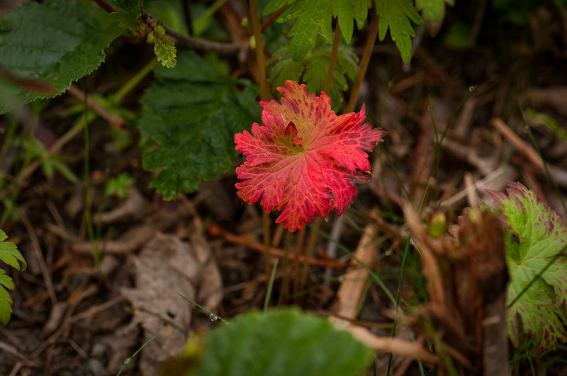 Close to the ground - this brightly colored leaf stood out from the otherwise uniform green ground cover in the high regions of Hatcher Pass, Mat- Su Valley.  This photo was taken in June 2010