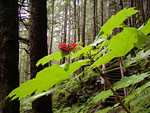 Devil's Club, with its bright green flowers, beautiful red berries, and toxic thorns. This photograph was taken on the East Glacier Trail in Juneau, Alaska - late summer.