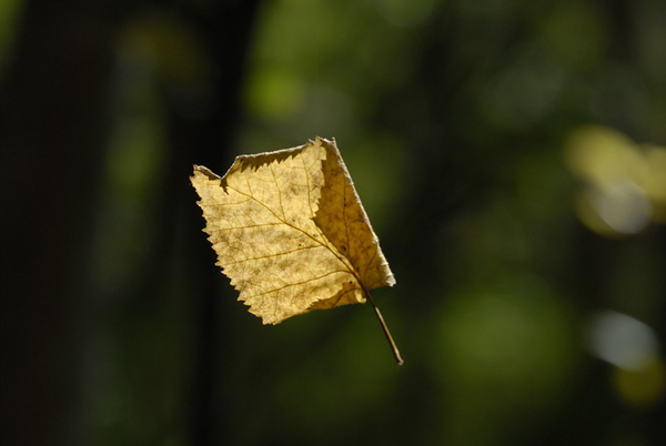 Although it looks to be in freefall, this leaf was actually hanging by a single strand of a spider web. I photographed this near Baxter Bog Pond in Anchorage, Alaska in early September.