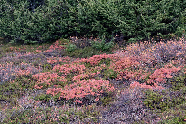 The ground cover along the hiking trails around Flattop in the Chugach State Park presents a flaming contrast with the muted evergreens in the background. This photo was taken in late September just outside Anchorage, Alaska.