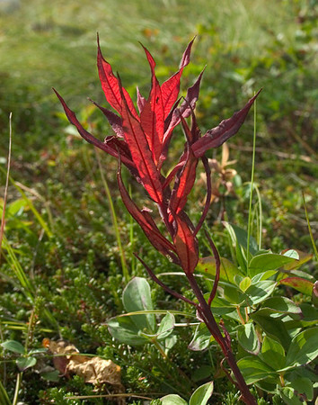 These Fireweed leaves were photographed as they were beginning to turn red with advance of autumn. The photograph was taken near Flat Top within the Chugach State Park in Anchorage, Alaska.