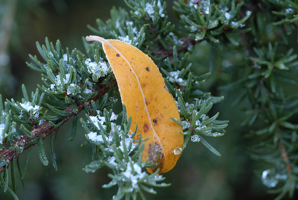 This leaf was perched upon the branch of a Spruce tree. This photo was taken just at sunrise following an evening that had a light dusting of snow early followed by a light frost. This was taken in Chugach State Park in Anchorage, Alaska.