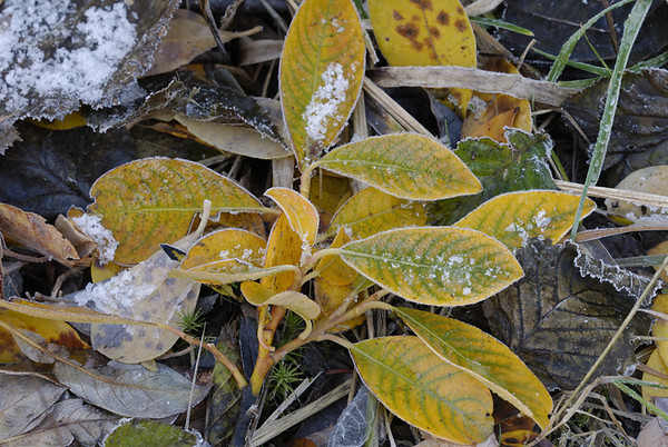 Frost, a dusting of snow, and changing colors signal the imminent arrival of winter in the high country in the Chugach State Park just outside Anchorage, Alaska in late September 2006.