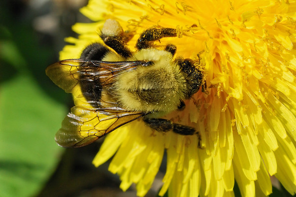 Bumblebee - I was curious to learn about the bumblebee. I learned that it was an endangered specie in many developed countries thus preventing pollination of plants. There are up to 250 different species! This one might be a Bombus Citrius but I am far from being certain! Have a great day - JY