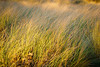 This long grass is important for the high shoreline. We need to protect it.