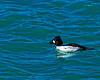 In the pool -  I believe this is a Common Goldeneye. They are typically in our area at this time of the year, migrating north as open water is available. It was under water most of the time so I am fortunate to have this shot! Cheers - JY