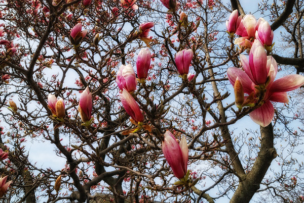 Sky high - the hot temperature sparked the magnolia to bloom sky high. Have a great day - JY