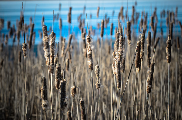 Waiting for the wind to more more of us. Cat Tails are rare now.