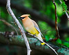 Posing - This cedar waxwing was posing for me, I had time to take a few shots. Have a great day - JY