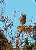 Aug.19th 2007,<br /> They were pretty far for my lens but I liked to see this. It is not every day I have the chance to observe a Heron's nest.