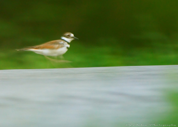 I play cat and mouse with this little bird for a while. This is may be an out of focus missed shot or cool panning effect. I kind of like it ...