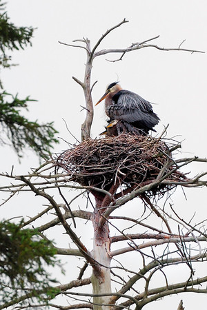 Home with the kids - This is rare that I ran into a Heron's nest. This is an island at the cottage, there must be 5 or 6 other nest really high in the tree. We call this place Heron's island. Have a great day - JY