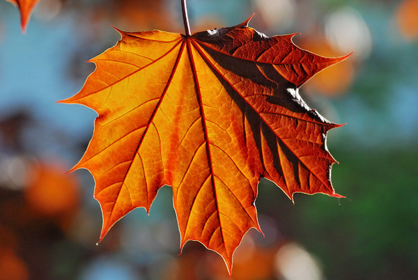 I am ... - The leafs came out, this one was back lit and he delivered wonderful colors, have a great day